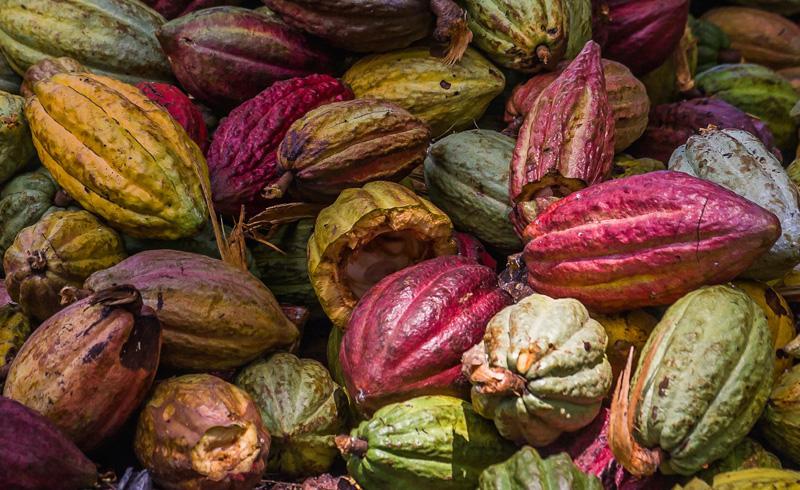 semi cacao 2