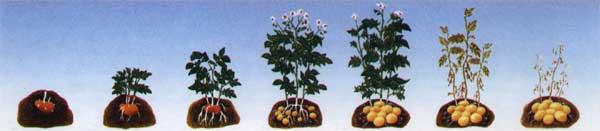 Credits: http://ilprimoorto.altervista.org/coltivazione-patata/