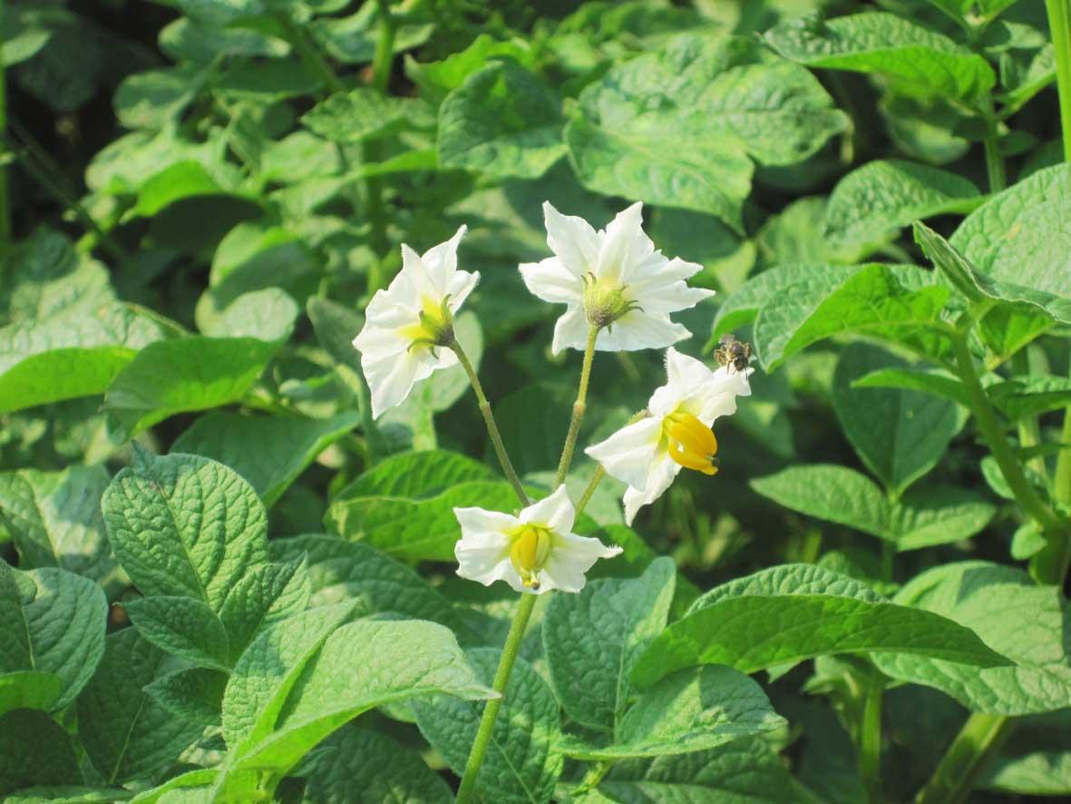 patate_pianta