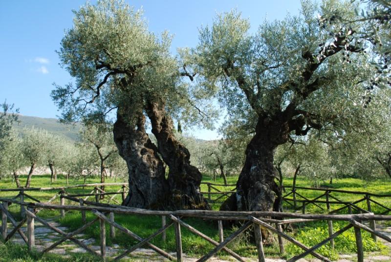 Gran Tour Umbria Olivo Sant'Emiliano