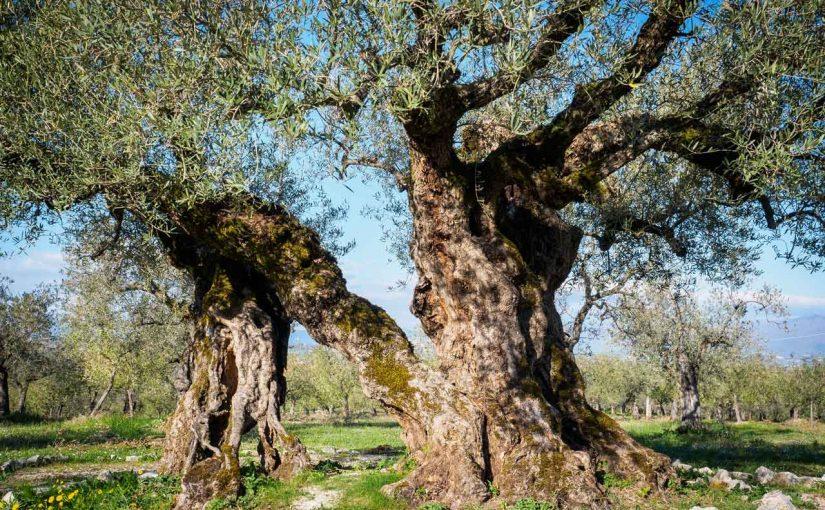 Gli olivi sono albero molto longevi, talvolta ultracentenari