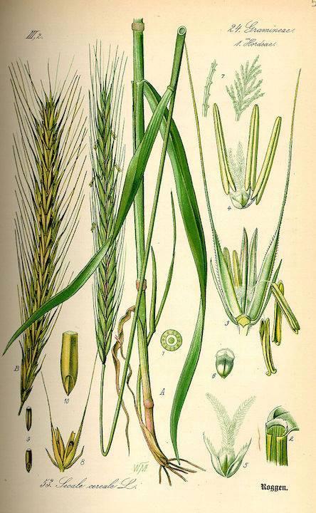 cereale rustico e robustissimo, conosciuto fin dall'antichità