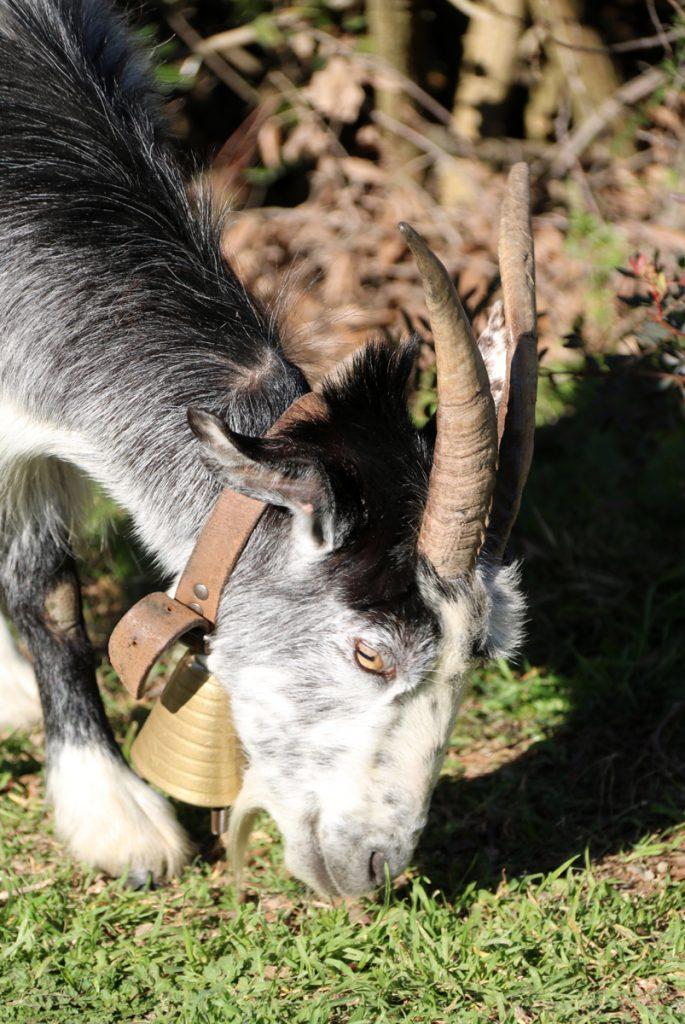 capre in Sardegna