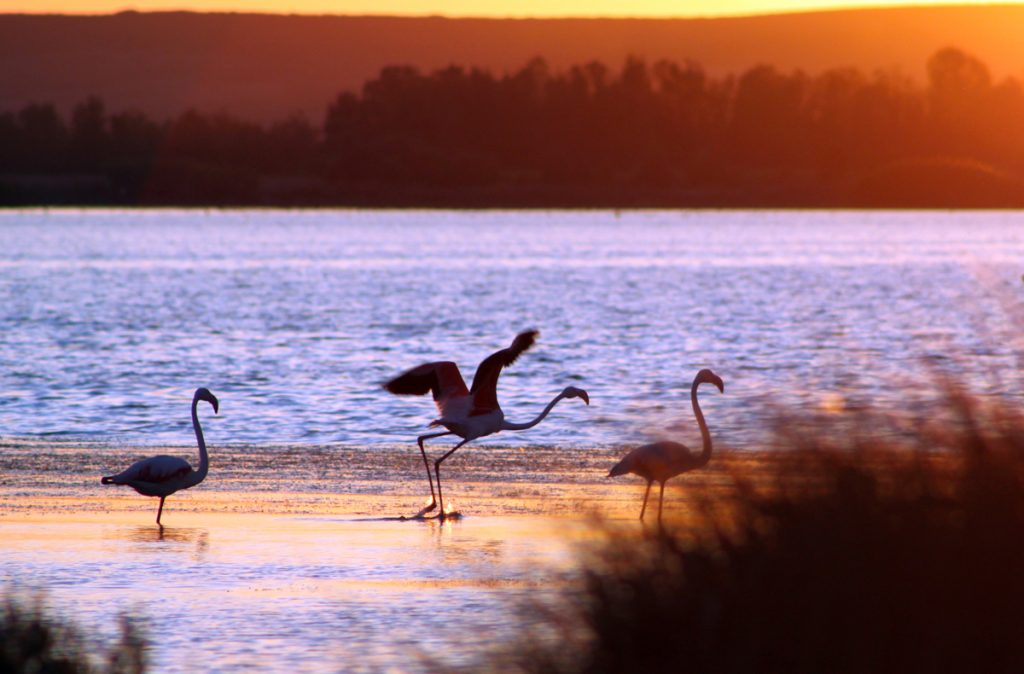 Le aree umide in Sardegna sono un habitat ideale per i fenicotteri