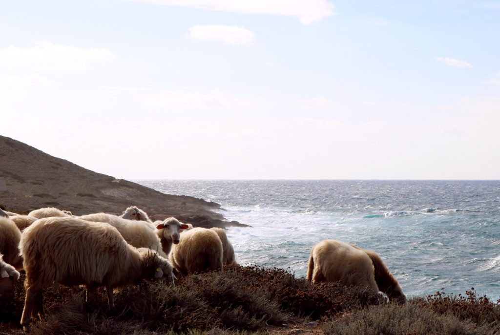 Pecore, caratteristiche della pastorizia sarda