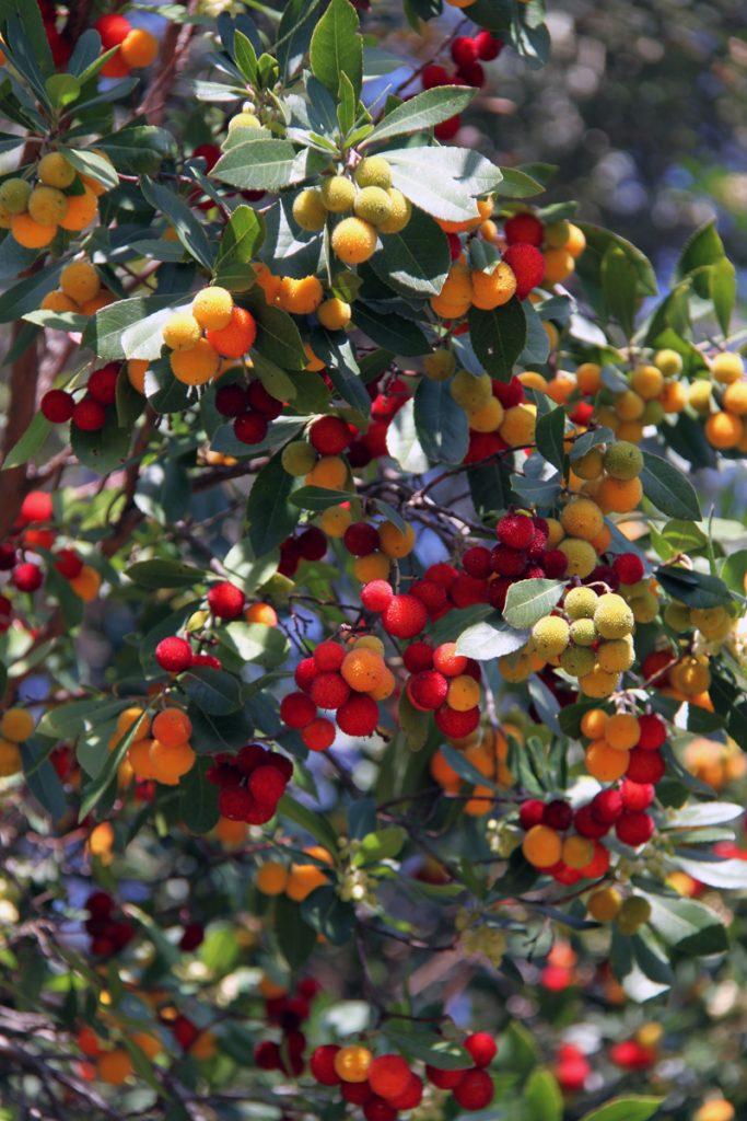 frutti di corbezzolo sardegna