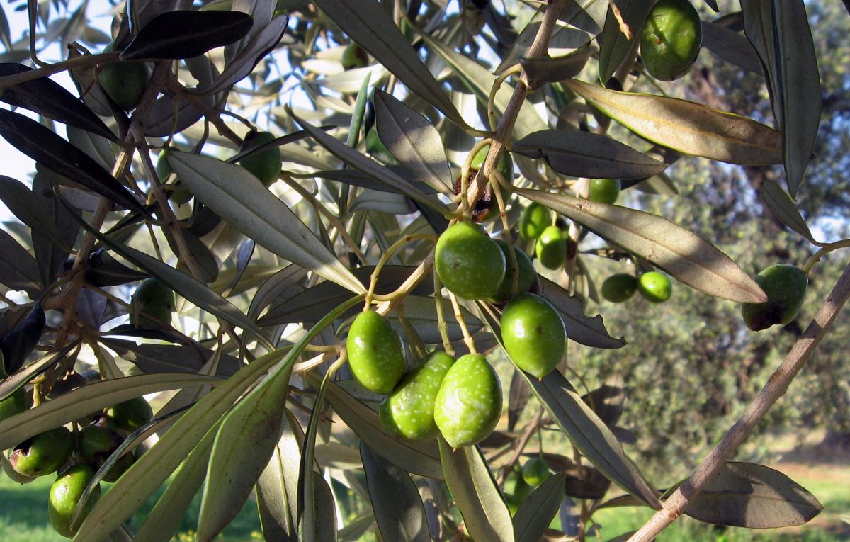 Olive sarde mature sull'albero