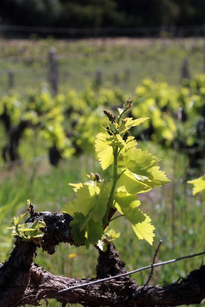 vigne in primavera, sardegna